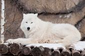 Wild Arctic Wolf Is Lying On Wooden Logs. Animals In Wildlife. Polar Wolf Or White Wolf. Canis Lupus poster