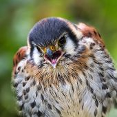 stock photo of small-hawk  - American kestrel or Sparrow hawk screaming  - JPG