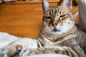 lazy and funny tabby cat stay on a bed at home poster