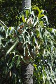 Staghorn Fern ( Platycerium bifurcatum )