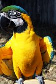 Macaw looking at the camera