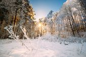 Beautiful Sunset Sunrise Sun Sunshine In Sunny Winter Snowy Coniferous Forest. Sunlight Through Wood poster