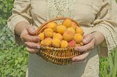 Basket Of Harvested Apricots. poster