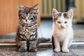The Two Kittens Sit On The Floor In The Room. White Spotted And Gray Striped Kittens Are One By One. poster