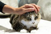 Woman Hand Stroking A Tabby And White Cat With Green Eyes poster