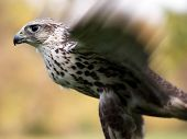 picture of small-hawk  - Merlin Falco columbarius close up - JPG