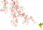 picture of colibri  - Cherry blossom - JPG