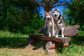 Two Smiling Siberian Huskies Dogs Are Sitting On Bench In Park. Sunny Summer Day, Background Of Coni poster