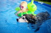 An Old, Loyal, German Shepherd Mix Breed Senior Dog Is Swimming In His Shallow Backyard Above Ground poster