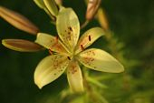 picture of asiatic lily  - photographed at sunset lilie ,asiatic lily in sammer