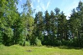 Russian nature - pine forest in summer