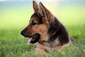 Close up of german shepherd puppy