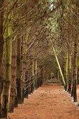 foto of denude  - View of a Pine Plantation with young trees - JPG