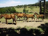 Brumbies At Mountain Thyme Property.