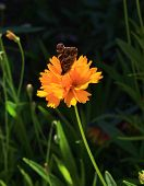 Marigold with a butterfly
