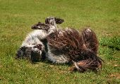 Ranch Dog (Border Collie) Rolls In The Grass