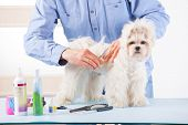 Smiling man grooming a dog purebreed maltese with scissors