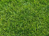 Mown, Mowed, Cut Grass Lawn Background - Closeup
