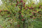 Apple Tree With Ripe Fruit