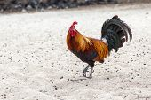stock photo of leghorn  - A rooster walks on sandy beach - JPG