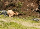 picture of cow skeleton  - A dead cow lies in a gully in a decomposing state - JPG