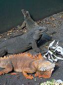 Multi-colored Iguanas