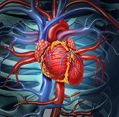 Herz-Kreislauf-menschliches Herz