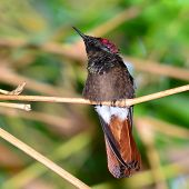 Rubby topaz hummingbird