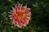 Colorful view of blossom chrysanthemum