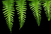 Four Fern Leaves