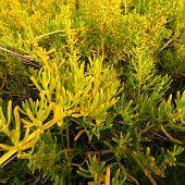 Saltwort (Batis maritima) Coastal Prairie Everglades