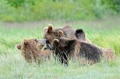 stock photo of bear cub  - Grizzly Bear mother nursing her two cubs - JPG