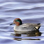 A Eurasian Teal Drake (Anas crecca) in breeding plumage.