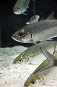 Atlantic Tarpon Fish In Aquarium.