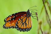 Queen Butterfly Macro