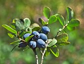 Bog Northern Bilberry . Green nature background. Vaccinium uliginosum
