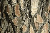 Closeup Of The Bark Of A Pine Tree