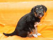 Small Black Puppy With Brown Markings Sitting