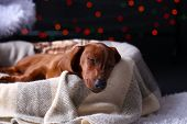 pic of christmas puppy  - Little cute dachshund puppy on Christmas background - JPG