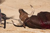Dragging of the bull died after the fight in the bullring of Baeza