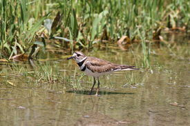 foto of killdeer  - Killdeer in a puddle of water at the side of a rural roadway left by recent rains - JPG