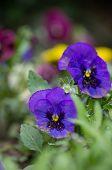 Tricolor Violas