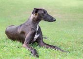 Spanish Galgo Dog