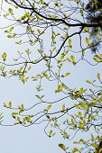 Fresh leaves of dogwood (Cornus florida)
