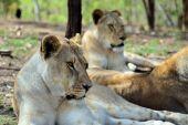 Female lions resting