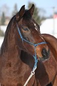Gorgeous Brown Horse With Blue Rope Halte In Winter