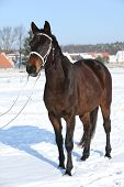 Gorgeous Brown Horse With White Bridle In Winter