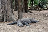 image of komodo dragon  - A Komodo dragon is lying under the tree in the Komodo national park - JPG