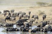 picture of cape buffalo  - Buffalo herd going to drink - JPG