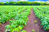 Rows of potato plants